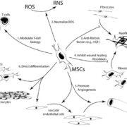 幹細胞が皮膚の色々な細胞に成長するイメージ