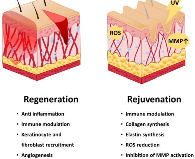 幹細胞による若返り
